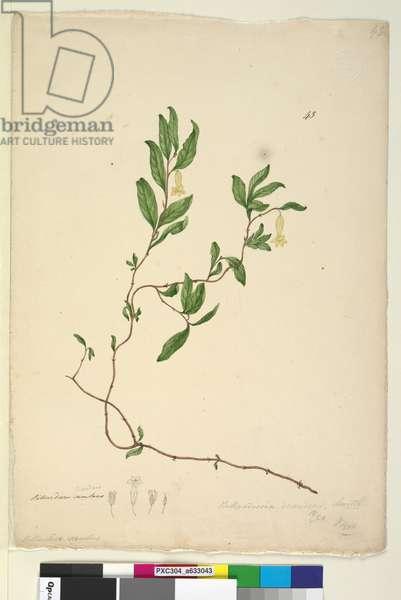 Page 43. Billardiera scandens, c.1803-06 (w/c, pen, ink and pencil)