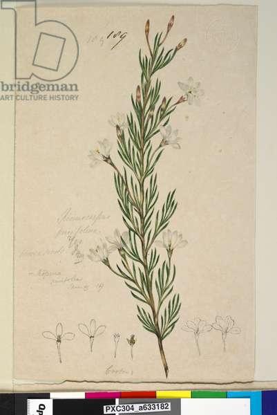 Page 189. Ricinocarpus pinifolius, c.1803-06 (w/c, pen, ink and pencil)