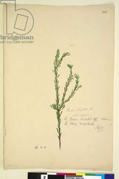 Page 202. Pimelia linifolia, c.1803-06 (w/c, pen, ink and pencil)