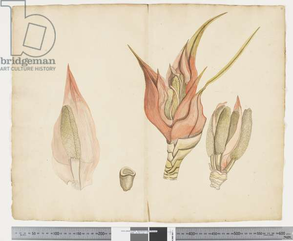 F.33 Freycinetia baueriana, c.1790-95 (ink & w/c on paper)