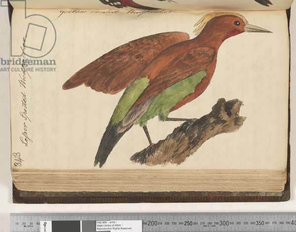 Page 343. Lesser Spotted Woodpecker, 1810-17 (w/c & manuscript text)