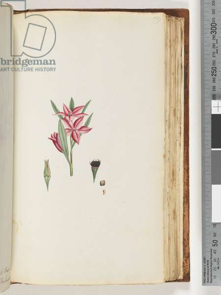Page 139. Unnamed flowering plant (Watling 447/382) (w/c)