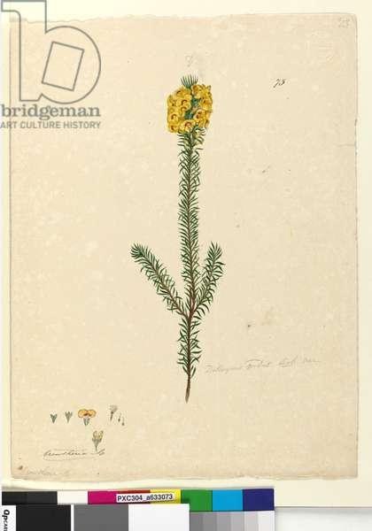 Page 73. Dillwynia rubis?, c.1803-06 (w/c, pen, ink and pencil)