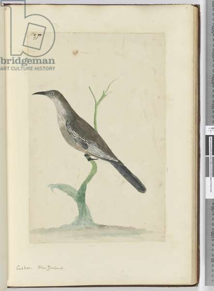 F.21 Cuckoo. New Zealand, 1772-75 (w/c)
