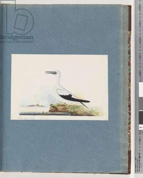 Page 91. Unidentified bird. Pel. borssanus (w/c on paper)