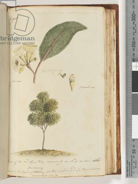 Page 149. Natural Size, A Species of the red Gum Tree, commonly in N.S.W called, Mohogony (w/c)