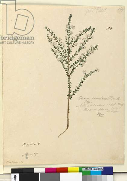 Page 124. Olearia ramulosa, c.1803-06 (w/c, pen, ink and pencil)