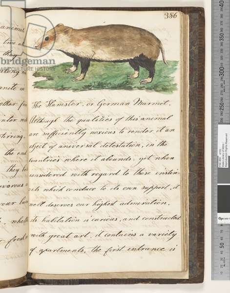 Page 386. The Hamster, or German Marmot, 1810-17 (w/c & manuscript text)