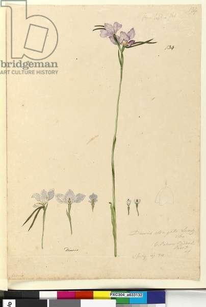 Page 134. Diuris elongata, c.1803-06 (w/c, pen, ink and pencil)