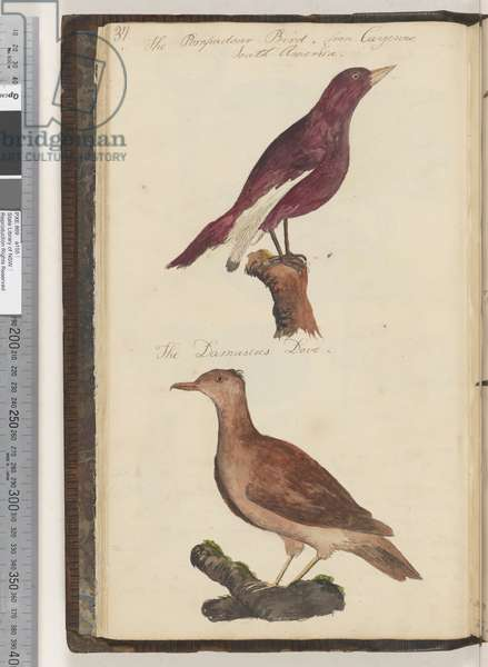Page 37. The Pompadour bird; the Damascus dove, 1810-17 (w/c & manuscript text)