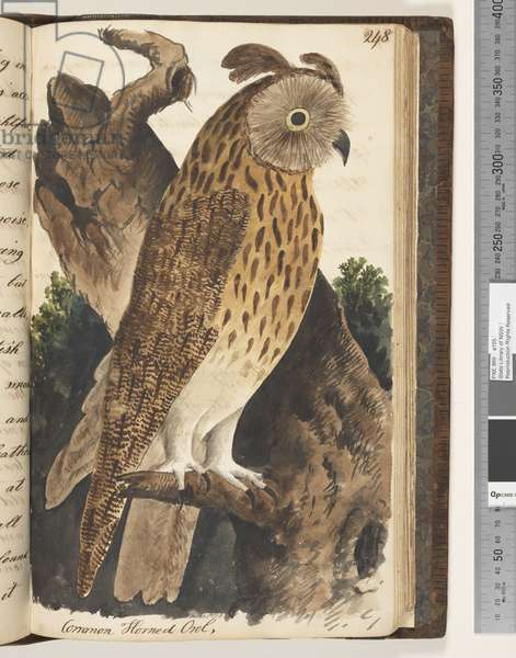 Page 248. Common Horned Owl, 1810-17 (w/c & manuscript text)