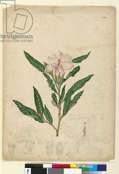 Page 104. Hibiscus heterophyllus, c.1803-06 (w/c, pen, ink and pencil)