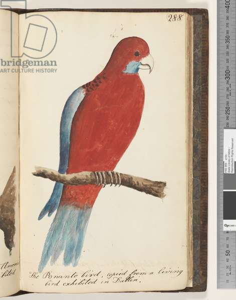 Page 288. The Ponanto bird, copied from a living bird exhibited in Dublin, 1810-17 (w/c & manuscript text)
