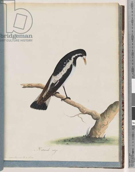Page 50. Magpie-lark. Corvus cyanoleucos (w/c on paper)