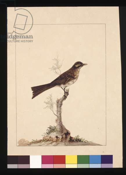 Page 14. Yellowed-eared Flycatcher. Now known as a Yellow-faced Honeyeater, c.1789-90 (w/c)