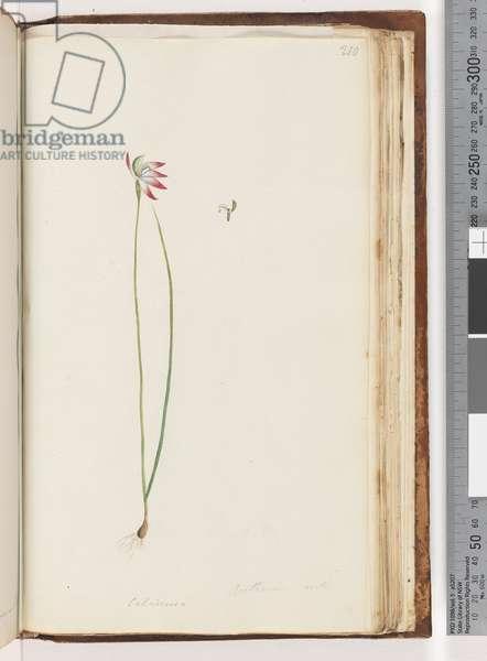 Page 210. Arethusa certe? / Caladenia (w/c)