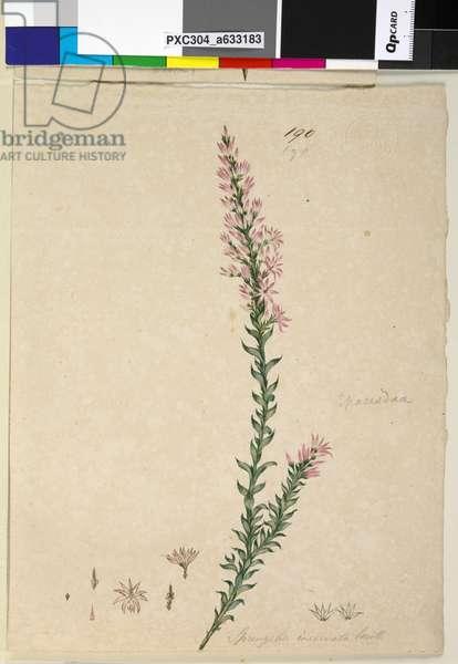 Page 190. Sprengelia incarnata, c.1803-06 (w/c, pen, ink and pencil)