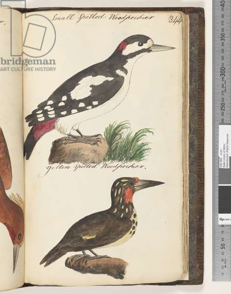 Page 344. Small Spotted Woodpecker; Yellow Spotted Woodpecker, 1810-17 (w/c & manuscript text)