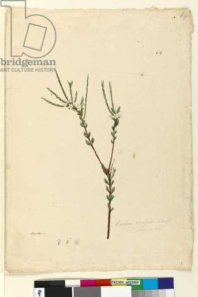 Page 64. Baeckea densifolia, c.1803-06 (w/c, pen, ink and pencil)