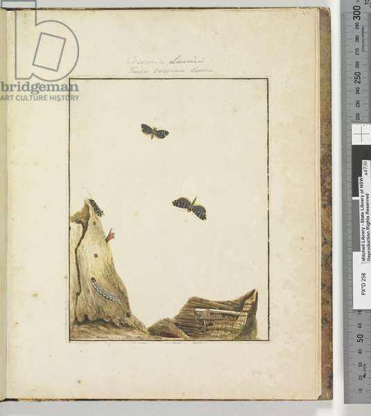 Page 27. Plate 7 Cossuna Lewinii / Tinea Cossuna Lewin, 1803-04 (hand-coloured etching)