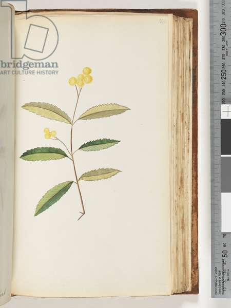 Page 140. Unidentified flower, October 1794 (w/c)