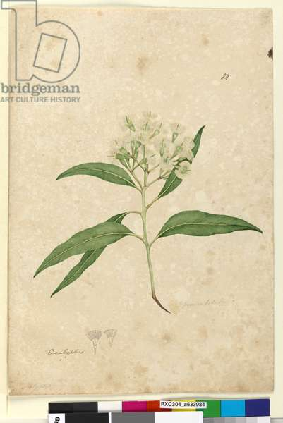 Page 84. Eucalyptus paniculata, c.1803-06 (w/c, pen, ink and pencil)