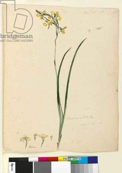 Page 135. Diuris maculata, c.1803-06 (w/c, pen, ink and pencil)