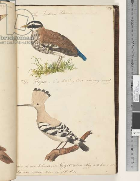 Page 38. The Indian Stare; the Hoopoe, 1810-17 (w/c & manuscript text)