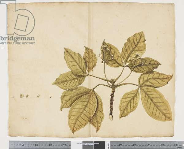 F.11 Evodia littoralis, c.1790-95 (w/c & ink on paper)
