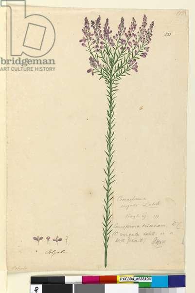 Page 105. Comesperma ericinum, c.1803-06 (w/c, pen, ink and pencil)