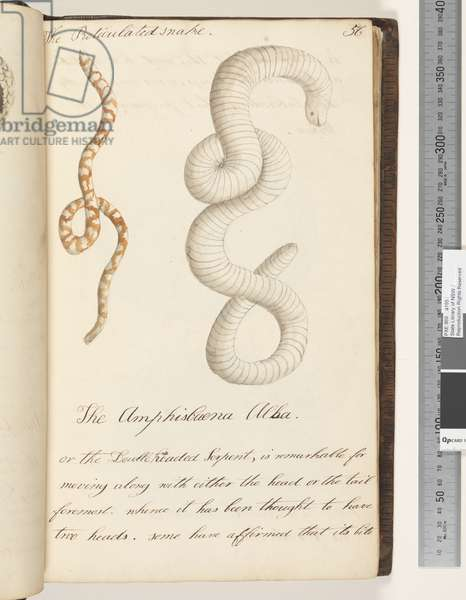 Page 56. The Reticulated snake; the Amphisbaena Alba or the Doubleheaded Serpent, 1810-17 (w/c & manuscript text)