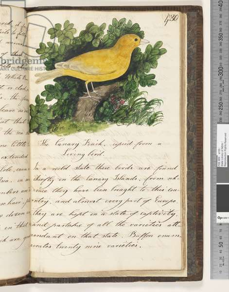 Page 430. The Canary Finch, copied from a living bird., 1810-17 (w/c & manuscript text)