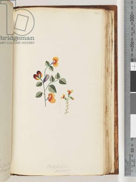 Page 180. Platylobium formosum/ Handsome Flat-pea (w/c)