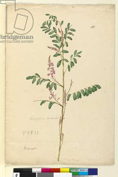 Page 116. Indigofera australis, c.1803-06 (w/c, pen, ink and pencil)