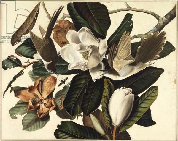 Black-billed cuckoo, 1822 (w/c & graphite on paper)