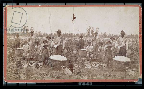 Slave family picking cotton in the fields near Savannah, c.1860s (stereograph photo)