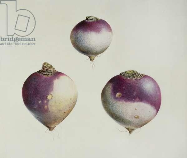 Three Turnips (w/c on vellum)