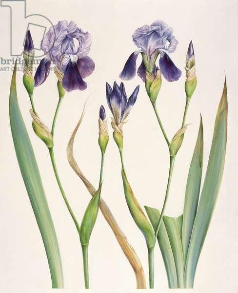 Irises, 2003 (w/c on vellum)