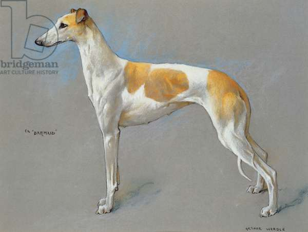 The white and fawn champion greyhound bitch 'Barmaid' (pastel on paper)