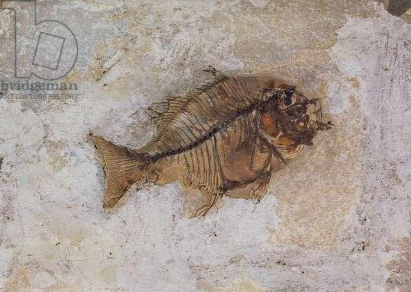 Ephippus oblongus (Fish Fossil) found at Monte Bolca, near Verona, Italy, Eocene Period (fossil)