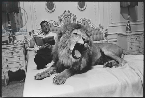 Tony Randall with lion (Zamba), on the set of 'Fluffy', 1965 (b/w photo)