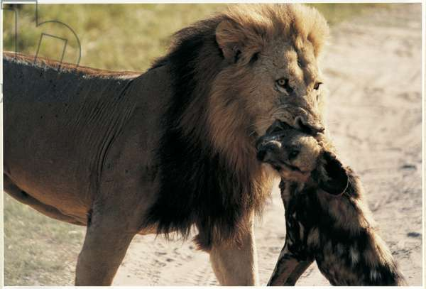 Lion with wilddog in his mouth, Botswana