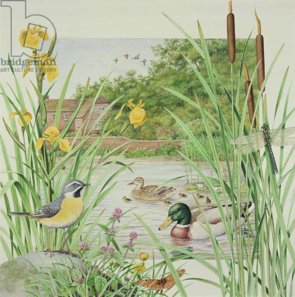 Grey Wagtail and Mallards (w/c on paper)