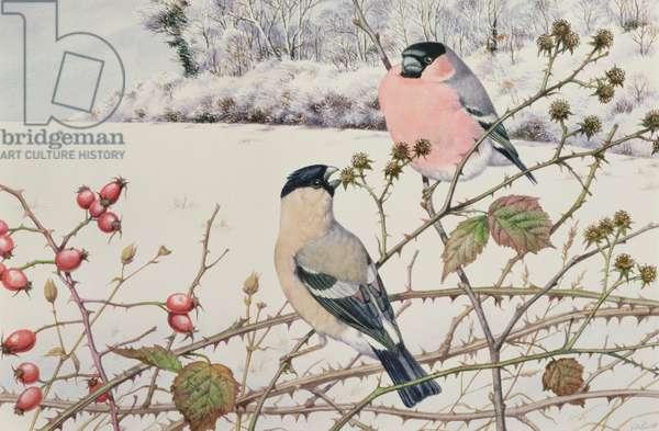 Bullfinches (w/c on paper)