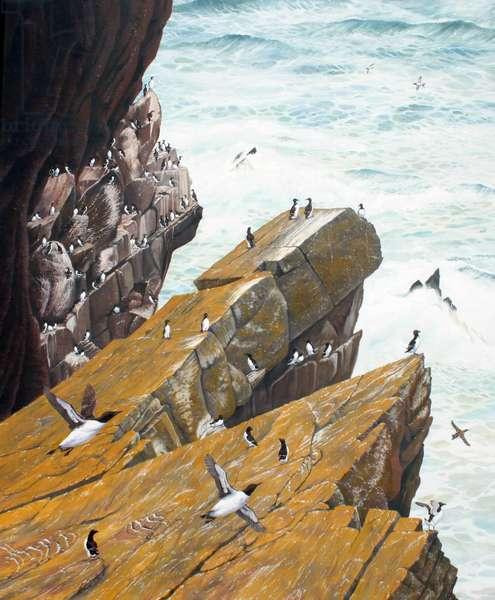 Guillemots and Razorbills, Skokholm (oil on canvas)