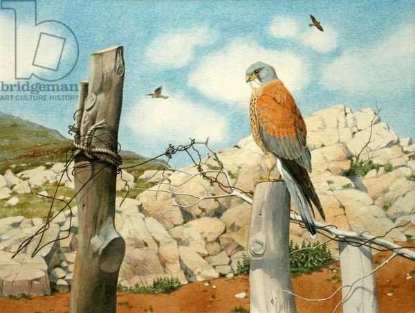 Lesser kestrels, Pindos (w/c on paper)