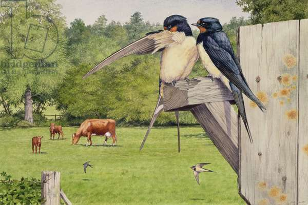 Swallows (w/c on paper)