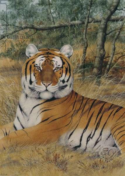 Tiger (colour litho)