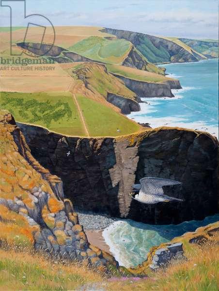 Peregrine, Cornish cliffs, summer (oil on canvas)