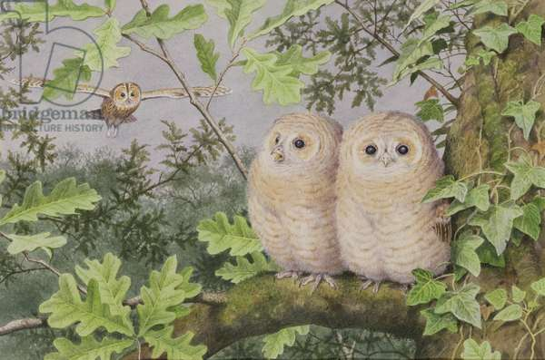 Tawny Owl and Chicks (w/c on paper)